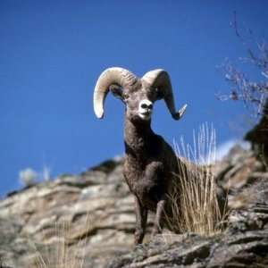 Bighorn sheep (Ram alert on face of mountain cliff Round