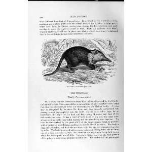 NATURAL HISTORY 1893 94 CUBAN SOLENODON WILD ANIMAL