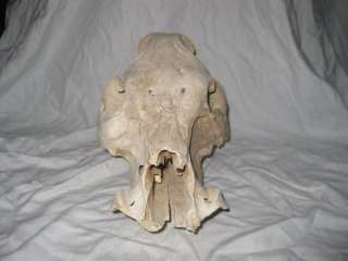 Taxidermy Bone Skeleton Skull of Wild Pig Boar Warthog Unknown