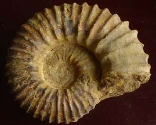 Big Natural Fossil Rare Ammonite 6.7LB